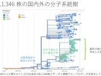 B .1.346株の国内外の分子系統樹